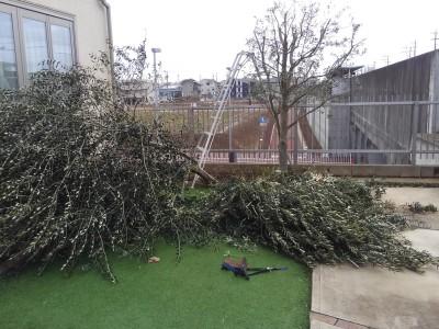 BEFORE : 『オリーブ剪定、支柱設置工事 茨城県取手市』の施工前